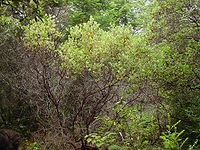 Arctostaphylos columbiana.jpg