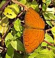Ariadne ariadne - Angled Castor butterfly 01.JPG