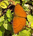 Ariadne ariadne - Angled Castor butterfly 03.JPG
