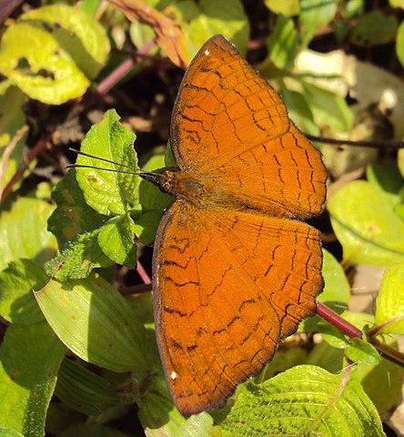 Bộ sưu tập cánh vẩy 4 - Page 8 444px-Ariadne_ariadne_-_Angled_Castor_butterfly_03