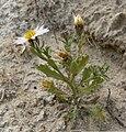 Arida arizonica 1.jpg