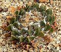 Ariocarpus scaphirostris 1.jpg