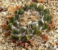 Ariocarpus scaphirostris 1