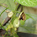 Aristolochia fimbriata-IMG 5495.jpg