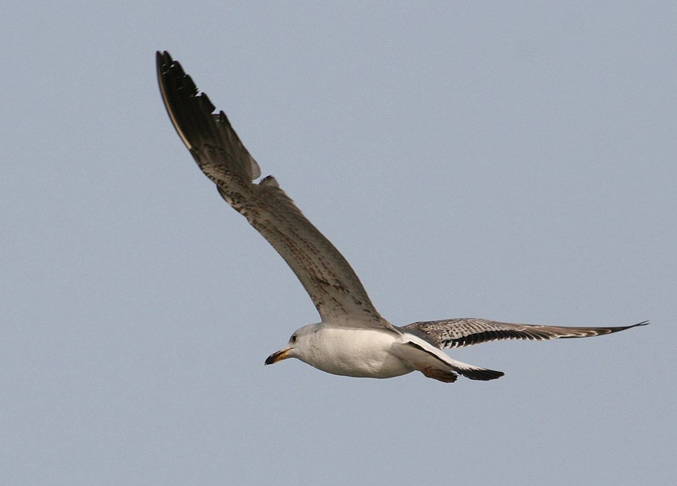 Armenian Gull Juvenile in flight, Sevan lake