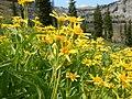 Arnica longifolia (28925392070).jpg