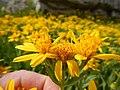 Arnica longifolia (29135003671).jpg