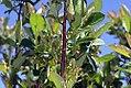 Aronia arbutifolia Brilliantissa 0zz.jpg