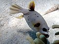 Arothron nigropunctatus - Blackspotted pufferfish (11006896775).jpg