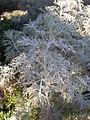 Artemisia arborescens 2c.JPG