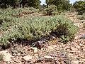 Artemisia arbuscula 004 — Matt Lavin.jpg