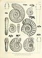 Arthaber-Cephalopodenfauna, 1896. Table 23 Ceratites-Balatonites.jpg