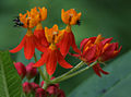Asclepias curassavica (Mexican Butterfly Weed) W IMG 1453.jpg