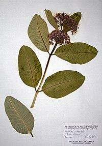 Asclepias syriaca BW-1979-0709-9883.jpg