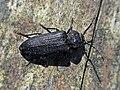 Asemum striatum (Cerambycidae) - (imago), Molenhoek, the Netherlands.jpg