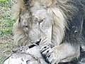 Asiatic Lion 10.jpg