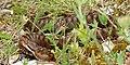 Asp Viper (Vipera aspis) female (found by Jean NICOLAS) (35656284936).jpg