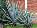 Asparagales - Agave tequilana - 4.jpg
