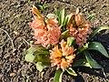 Asparagales - Hyacinthus orientalis - 7.jpg