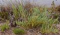 Asparagus macrorrhizus0774.jpg