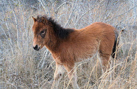 A wild Assateague foal (Chincoteague Pony) on Assateague Island off the eastern coast of Maryland and Virginia, United States