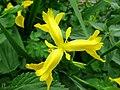 Atlas roslin pl Kosaciec żółty 8911 7204.jpg