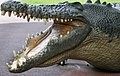 Australia Zoo Crocodile Head-1and (3383273770).jpg