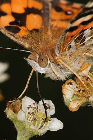 Nectarivore - An Australian painted lady (Vanessa kershawi) feeding on nectar through its long proboscis