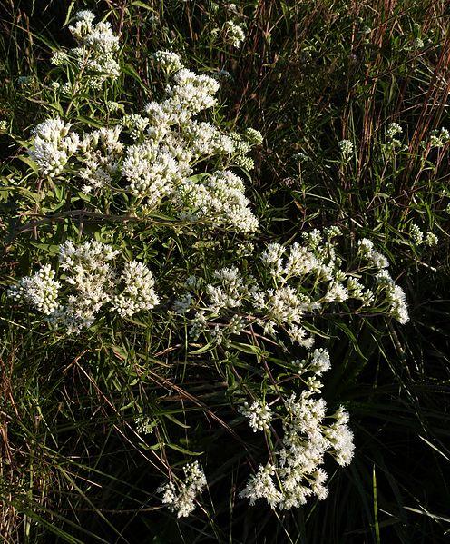 File:Austroeupatorium inulifolium.jpg
