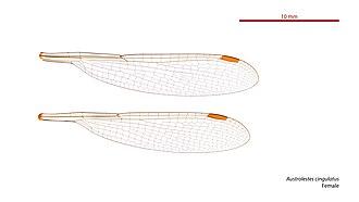 Metallic ringtail - Image: Austrolestes cingulatus female wings (33984749394)