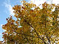 Autumnal sycamore - geograph.org.uk - 1023141.jpg