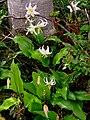 Avalanche Lily (983682b32fc64bcd94d2ac482ba76971).JPG