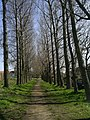 Avenue of Poplars - geograph.org.uk - 774391.jpg