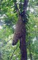 Aztec Ant nest. - Flickr - Dick Culbert.jpg