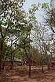 Bénin-Burkea africana (3).jpg