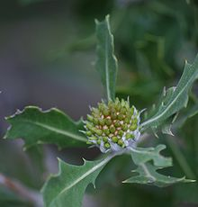 closeup of a central greenish set of buds in a dome shape surrounded by prickly leaves