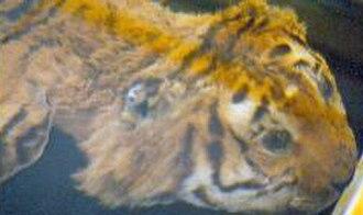 Caspian tiger - Skin of an Iranian tiger