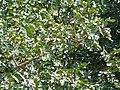 Baikiaea plurijuga feuilles MHNT.JPG