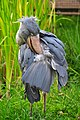 Balaeniceps rex (Schuhschnabel - Shoebill) - Weltvogelpark Walsrode 2010-11.jpg