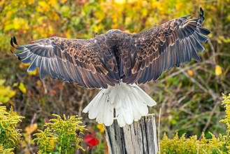 Bald eagle - This eagle has a sizeable wingspan