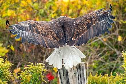 This eagle has a sizable wingspan Bald Eagle, wings and tail feathers.jpg