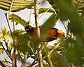 Baltimore Oriole Icterus galbula - Flickr - gailhampshire.jpg