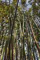 Bamboo (8587571876).jpg