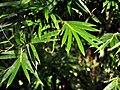 Bambus multip 160518-0066 stgd.JPG