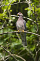 Band-tailed Pigeon - Oregon S4E5925 (18614290244).jpg