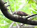 Banded bay cuckoo (ചെങ്കുയിൽ ) - 4.jpg