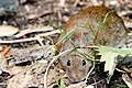 Bank Vole - Lackford Lakes (36085574634).jpg