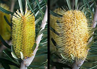 A tree or woody shrub in the family Proteaceae found throughout much of southeastern Australia