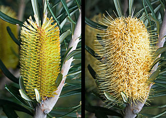 Banksia - B. marginata flower spike before and after anthesis