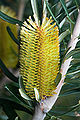 Banksia marginata tas.jpg